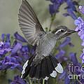 Blue-throated Hummingbird by Anthony Mercieca