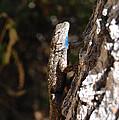 Blue Throated Lizard 3 by Debra Thompson