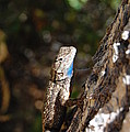 Blue Throated Lizard 4 by Debra Thompson