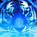 Blue Tiger by Nick Gustafson