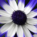 Blue Tipped Osteospermum by Nicki Bennett