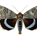 Blue Underwing Moth by Collection Abecasis