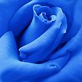 Blue Velvet Rose Flower by Jennie Marie Schell