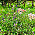 Blue Vervain And Rocks In Pipestone National Monument-minnesota  by Ruth Hager