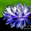 Blue Water Lily Reflection by Nick Zelinsky