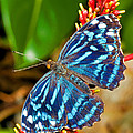 Blue Wave Butterfly by Millard H. Sharp