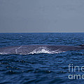 Blue Whale by Tommy Anderson