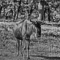 Blue Wildebeest-black And White by Douglas Barnard