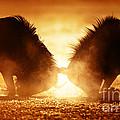 Blue Wildebeest Dual In Dust by Johan Swanepoel