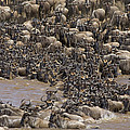 Blue Wildebeest Migration by Suzi Eszterhas