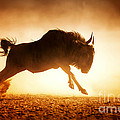Blue Wildebeest Running In Dust by Johan Swanepoel