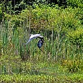 Blue Winged Heron 2013 by Maria Urso