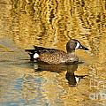 Blue Winged Teal 2 by Vivian Christopher