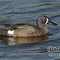 Blue-winged Teal by Anthony Mercieca