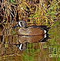 Blue-winged Teal Drake by Anthony Mercieca