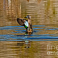 Blue-winged Teal Flapping by Anthony Mercieca