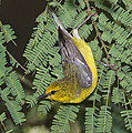Blue-winged Warbler by Anthony Mercieca
