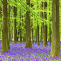 Bluebell And Beech Tree Forest by Chrishepburn