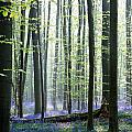 Bluebell Forrest 1 by Brothers Beerens