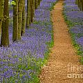 Bluebell Trail by Michael Hudson