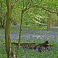 Bluebell Wood 1 by Gill Billington