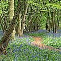 Bluebell Wood 3 by Gill Billington