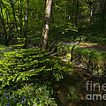 Bluebell Wood by Rob Hawkins