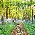Bluebell Wood Watercolour by Roy Pedersen