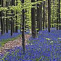 Bluebells In Beech Forest by Arterra Picture Library