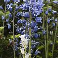 Bluebells 8 by Steve Purnell