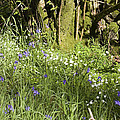 Bluebells And Greater Stitchwort Spring  Boot Eskdale Cumbria England by Michael Walters