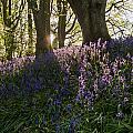 Bluebells Backlit by David Head