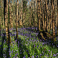 Bluebells In May by David T Kavanagh