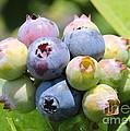 Blueberries Closeup by Carol Groenen
