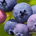 Blueberries by Sharon Talson
