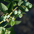 Blueberry Branch by Mick Anderson