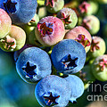 Blueberry Dew by Sharon Talson