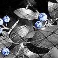 Blueberry Magic by Barbara S Nickerson