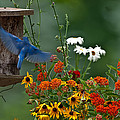 Bluebird And Colorful Flowers by Randall Branham