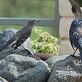 Bluejay And Mockingbird by Linda Brody