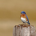 Bluebird At His Post by Robert Frederick