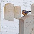 Bluebird by Chris Berry