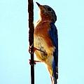 Bluebird Hangin by Art Dingo
