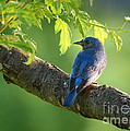 Bluebird In The Morning by Nava Thompson