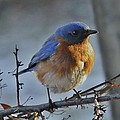 Bluebird In The Snow. by Earl Williams Jr