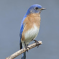 Bluebird by John Crothers