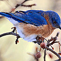 Bluebird by Marcia Colelli