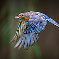 Bluebird No. 2 by Rick Barnard