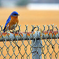 Bluebird On A Fence by Jason Politte