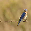 Bluebird On A Wire by Sandy Swanson